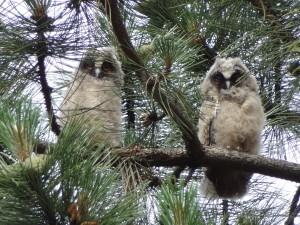 twee uilen